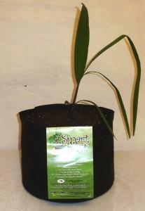 Palme mit Smart Pot